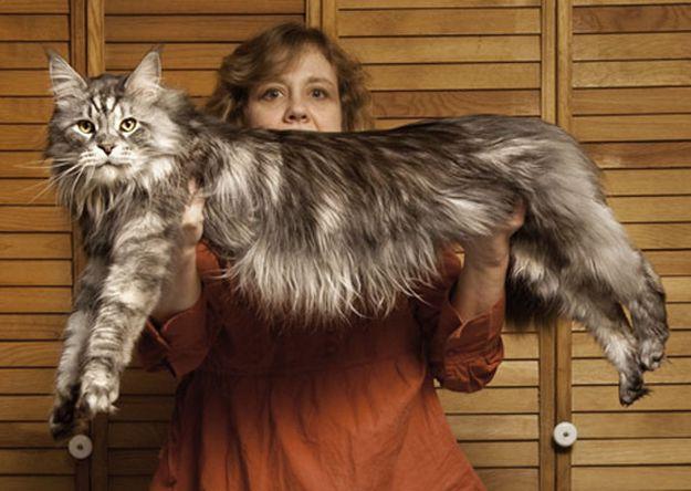 gato laargo