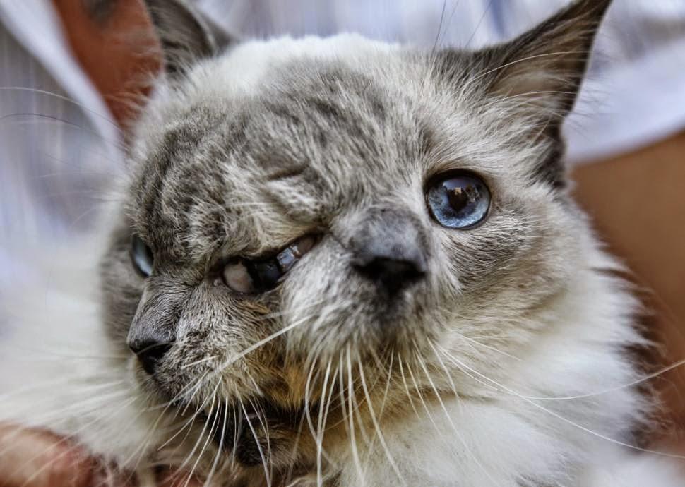 muere-frank-y-louie-el-gato-con-dos-caras-mas-viejo-y-querido-del-mundo 02