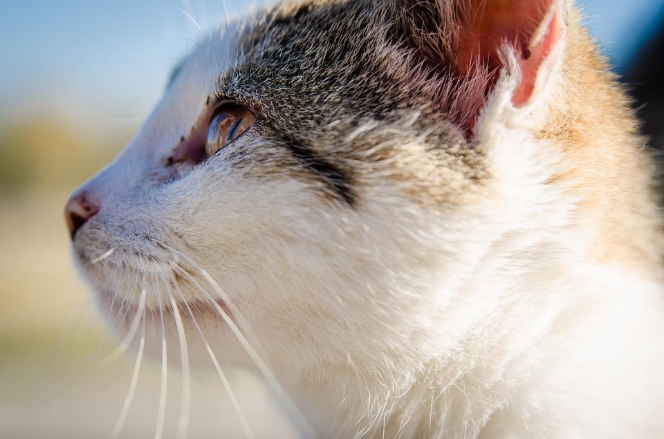 La Inmunodeficiencia Felina El Sida De Los Gatos La Era Gatera